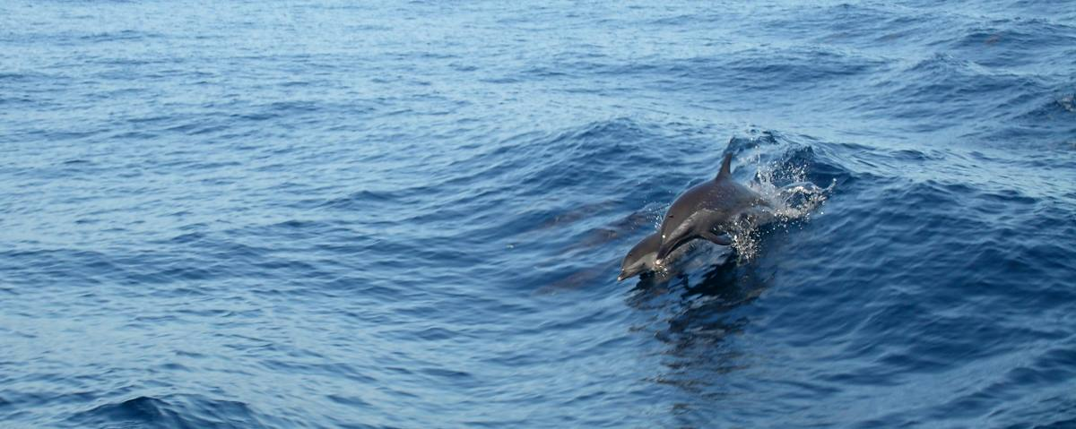 Dolphins swim alongside the boat