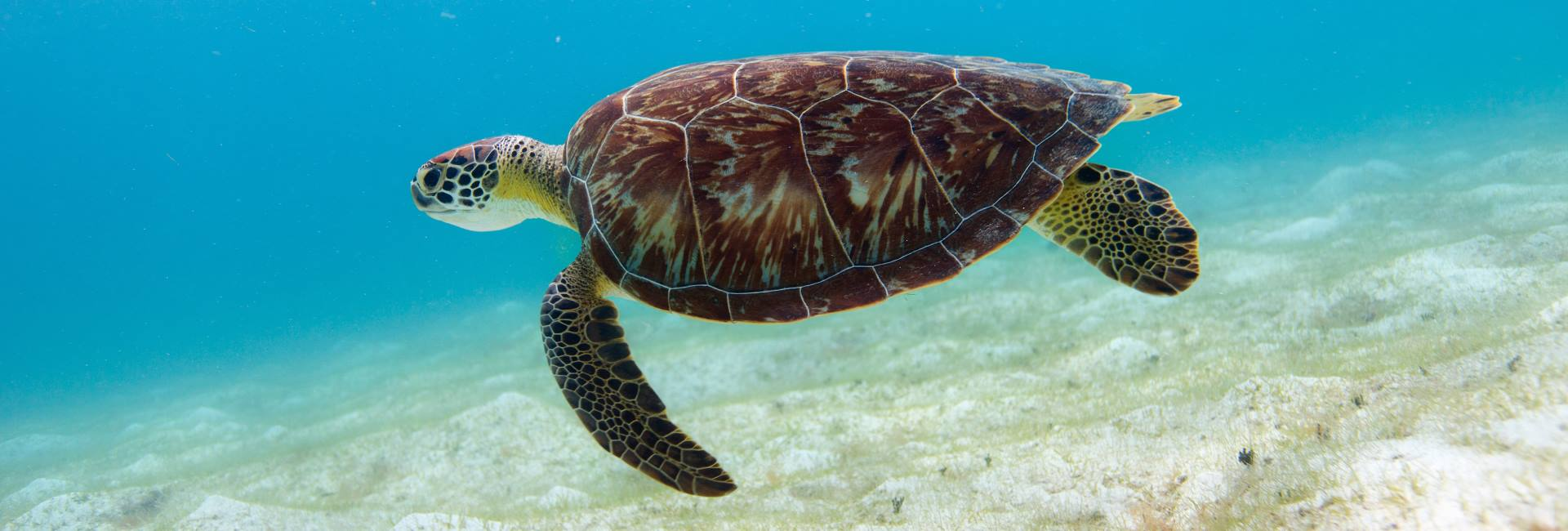 Turtle swims along the coast of Klein Curacao